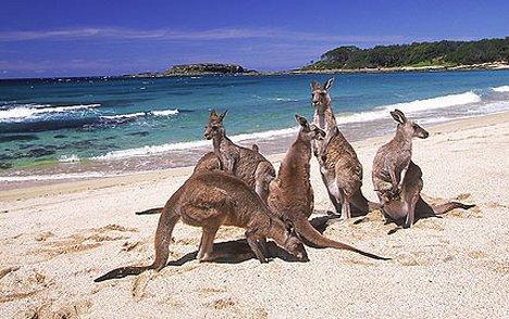 aus_kangaroo1